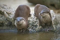 Otters watching Stock Photos
