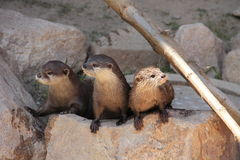 3 Otters watching. To their sibblings in the zoo stock photo