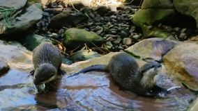 Otters. Water eating fur rocks Stock Photo