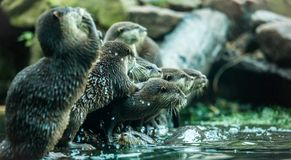 Otters by the water. After are swim Stock Image