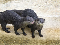 Otters at Water's Edge Stock Photography