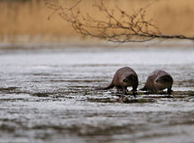 Otters in the wild. Otters photographed in the wild in southern Sweden. These are two pups who probably are a year old. Otters live mainly on fish, it is an Royalty Free Stock Photography