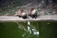 Otters in the zoo. Pair of curious otters near the water in the zoo Stock Photo