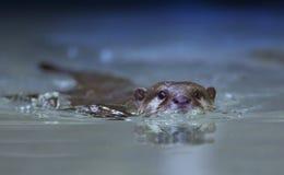 Otterschwimmen Lizenzfreie Stockfotografie