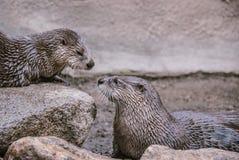 Ottersneus aan Neus Stock Afbeeldingen
