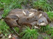 Ottervrienden royalty-vrije stock fotografie