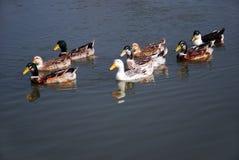 Otto anatre nel fiume Immagini Stock Libere da Diritti