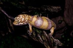 Otto der Gecko Stockfoto