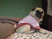Otto. My baby boy, he's a pug and a cute one too stock photography