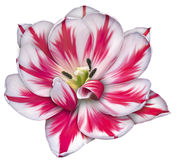 Ottoman tulip. Flower with halic design on the leafs royalty free illustration