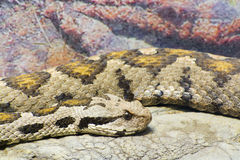 Ottoman viper (Vipera xanthina) Stock Photography