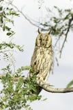 Μακρύς-έχων νώτα ενήλικος κουκουβαγιών (otus Asio) Στοκ Εικόνα