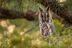 Otus aux grandes oreilles d'Owl Asio Photo stock