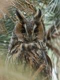Otus aux grandes oreilles d'Owl Asio photo stock
