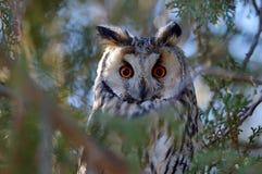 Otus aux grandes oreilles d'Owl Asio photographie stock