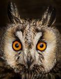 Otus aux grandes oreilles d'Owl Asio Photos stock