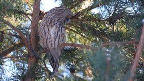 Otus de /Asio de duc, pr?c?demment otus/de Strix se reposant sur une branche de pin et secousses sa t?te clips vidéos