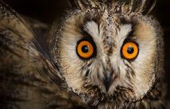 Otus de orejas alargadas de Owl Asio Fotos de archivo