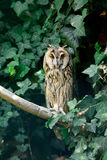 Otus de orejas alargadas de Owl Asio Imagen de archivo
