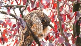 Otus del Asio del gufo comune che si siede su su in un albero stock footage