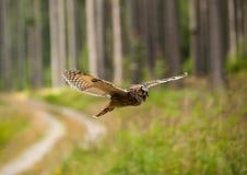 Otus del Asio - vuelo del búho de orejas alargadas con el griterío en bosque Foto de archivo