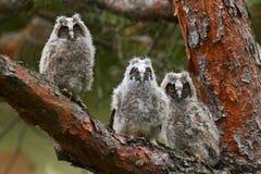 Otus ered longo do Asio de três corujas no ramo Imagem de Stock Royalty Free