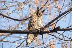 otus Longo-orelhudo de Owl Asio Foto de Stock Royalty Free
