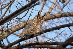 otus Longo-orelhudo de Owl Asio Foto de Stock