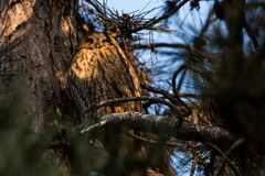 otus Longo-orelhudo de Owl Asio Imagem de Stock Royalty Free