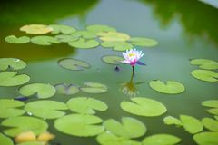 Waterlily in garden pond. Otus nature with copy space using as natural background or wallpaper concept Royalty Free Stock Photos