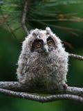 Otus por muito tempo ered do Asio da coruja do bebê Fotografia de Stock Royalty Free