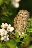 Otus scops with blossoms Stock Images