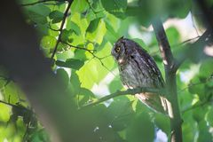 Otus scops. The wild nature of Bulgaria. Free nature. A beautiful picture of nature. Rhodopes. A little bird. Owl on the tree. Mou. Ntains in Bulgaria. European royalty free stock images