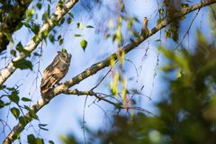 Otus scops. The wild nature of Bulgaria. Free nature. A beautiful picture of nature. Rhodopes. A little bird. Owl on the tree. Mou. Ntains in Bulgaria. European royalty free stock photos