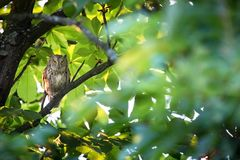 Otus scops. The wild nature of Bulgaria. Free nature. A beautiful picture of nature. Rhodopes. A little bird. Owl on the tree. Mou. Ntains in Bulgaria. European stock photos