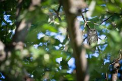 Otus scops. The wild nature of Bulgaria. Free nature. A beautiful picture of nature. Rhodopes. A little bird. Owl on the tree. Mou. Ntains in Bulgaria. European stock images