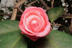 Otwarcie Kameliowy kwiat Zdjęcie Stock