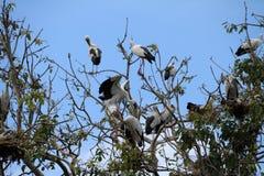 Otwarta wystawiająca rachunek bocianowa ptasia żerdź w gniazdeczku na gałąź drzewo i zdjęcia stock
