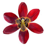 Otwarty Czerwony leluja kwiat Odizolowywający na Białym tle Fotografia Royalty Free