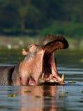 otwarty hipopotama usta Obrazy Royalty Free