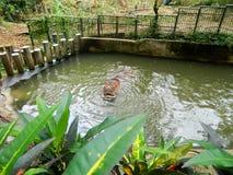 otwarty hipopotamowy usta Zdjęcie Royalty Free