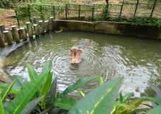 otwarty hipopotamowy usta Zdjęcia Stock
