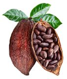 Otwarty kakaowy strąk który wiesza od gałąź z kakao ziarnami fotografia stock