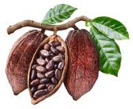 Otwarty kakaowy strąk który wiesza od gałąź z kakao ziarnami zdjęcie stock