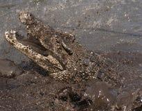 otwarty krokodyla usta Obraz Royalty Free