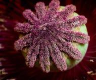 otwarty kwiatu maczek Obraz Stock