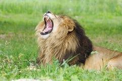 otwarty lwa usta Zdjęcie Royalty Free