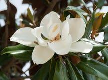 Otwarty Magnoliowy kwiat w świetle słonecznym i cieniu Obrazy Royalty Free