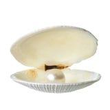 Otwarty miękki biały cockleshell z perłą odizolowywa na bielu plecy Fotografia Stock