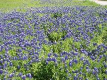 Otwarty pole błękitne czapeczki w kwiacie zdjęcia royalty free